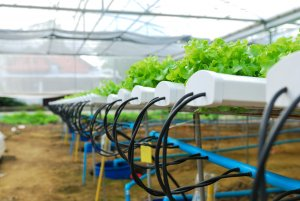shows water delivery into hydroponic lettuce growing